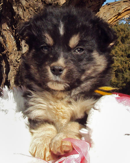 The Husky Mix Adoptable Puppies Pictures 529116