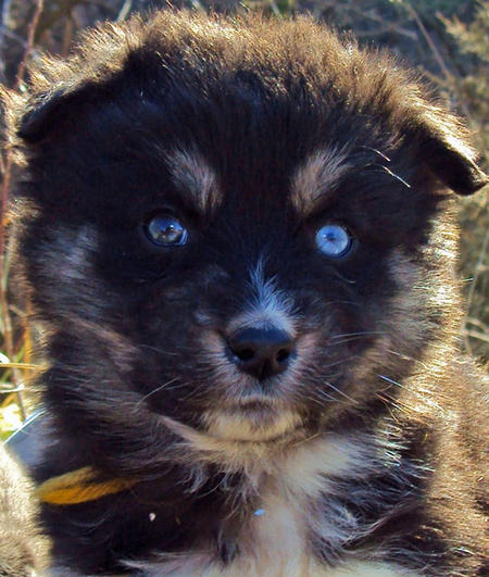 The Husky Mix Adoptable Puppies Pictures 529117