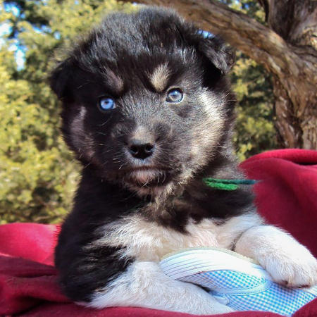 The Husky Mix Adoptable Puppies Pictures 529119