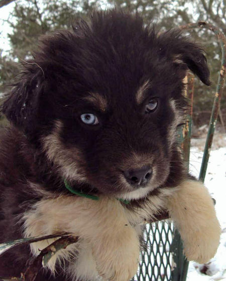 The Husky Mix Adoptable Puppies Pictures 529120