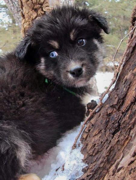 Australian Shepherd Husky Mix Puppies For Sale - www.yuyellowpages.net