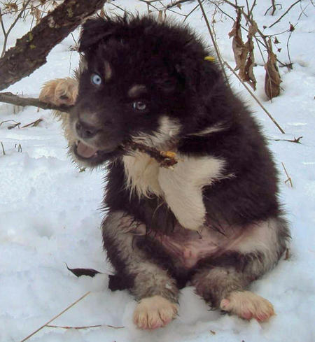 The Husky Mix Adoptable Puppies Pictures 529122