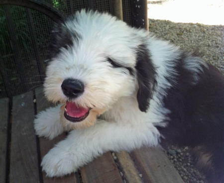 Theo the Old English Sheepdog Pictures 1031042