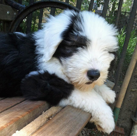 Theo the Old English Sheepdog Pictures 1031043