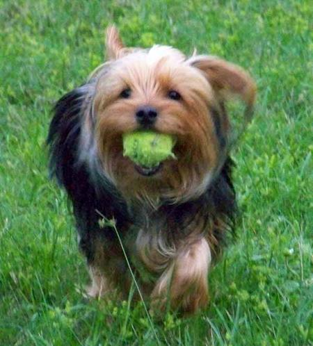 Theo the Yorkshire Terrier Pictures 1005557