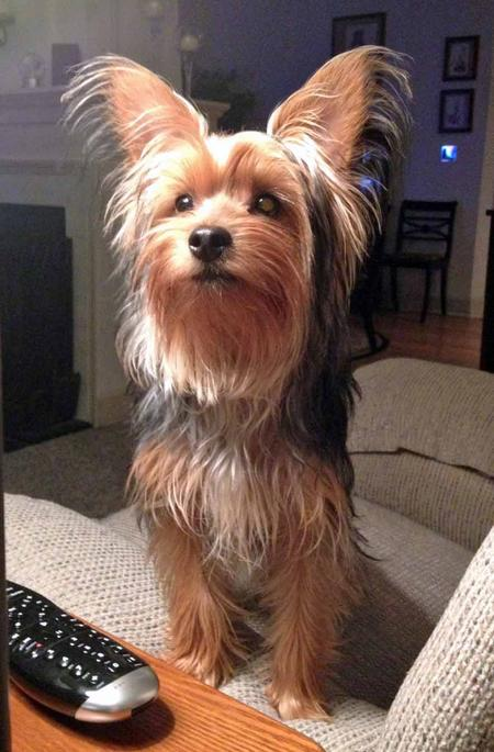 Theo the Yorkshire Terrier Pictures 1005558