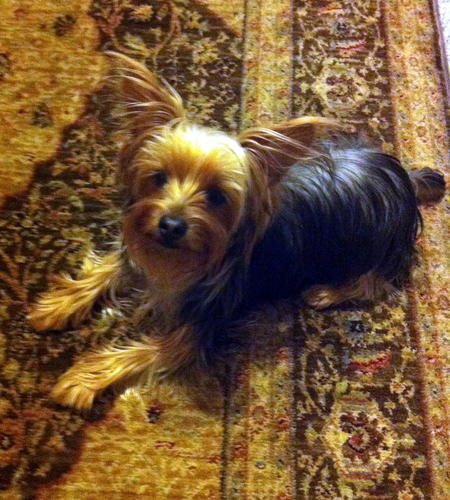Theo the Yorkshire Terrier Pictures 1005559