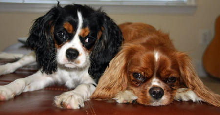 Thunder the Cavalier King Charles Spaniel Pictures 928325
