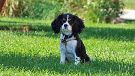 Thunder the Cavalier King Charles Spaniel Pictures 928326