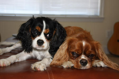 Thunder the Cavalier King Charles Spaniel Pictures 928323