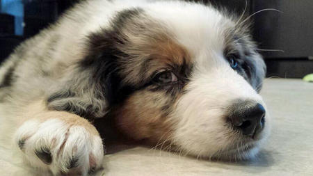 Ti the Australian Shepherd Pictures 1016441