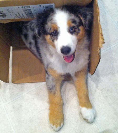 Ti the Australian Shepherd Pictures 1016446