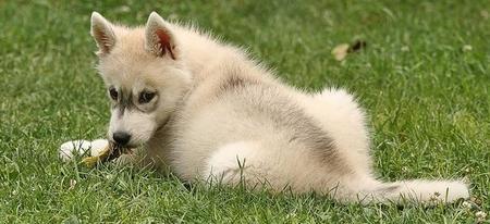 Tiara the Siberian Husky Pictures 1031834