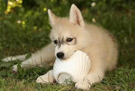Tiara the Siberian Husky Pictures 1031838
