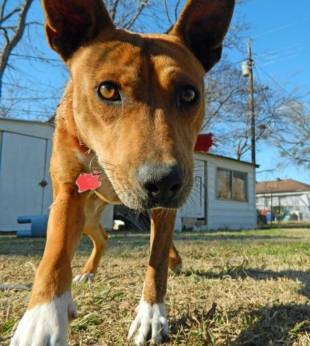 Tiger the Basenji Pictures 1032324