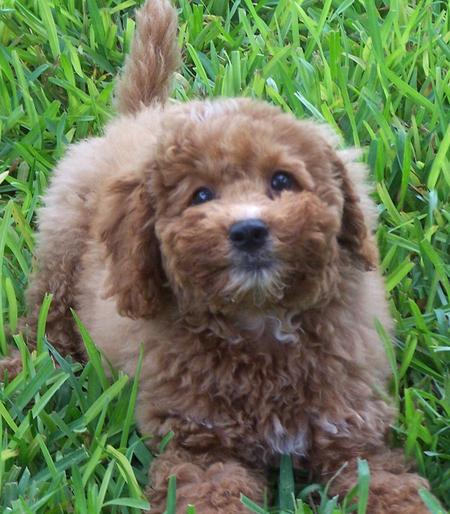 Tigger the Miniature Labradoodle Pictures 443839