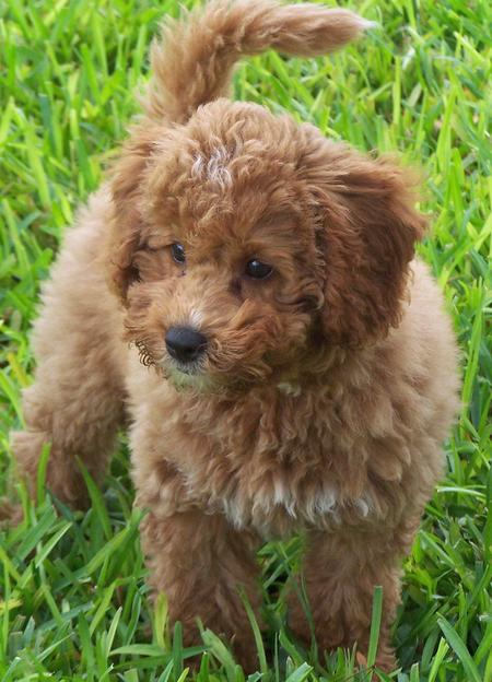 Tigger the Miniature Labradoodle Pictures 443840