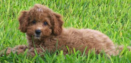 Tigger the Miniature Labradoodle Pictures 443837
