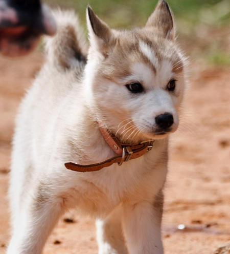 Tikaani the Siberian Husky Pictures 411189