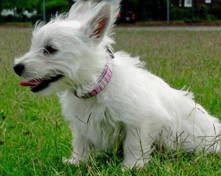 Tillie the West Highland Terrier Pictures 588834
