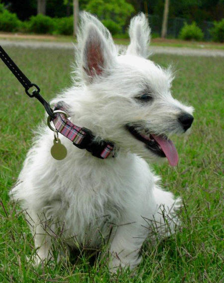 Tillie the West Highland Terrier Pictures 588837