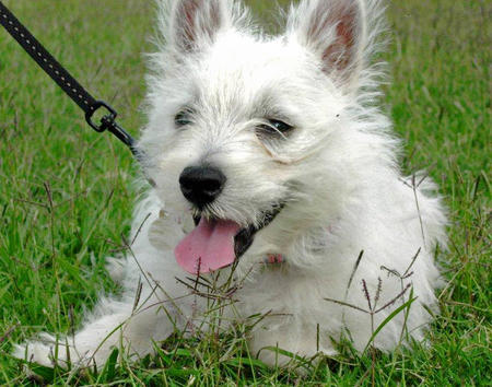 Tillie the West Highland Terrier Pictures 588838