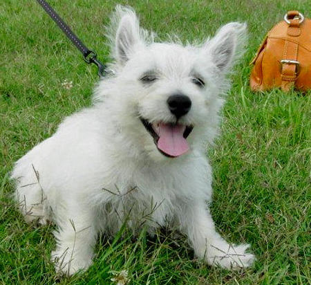 Tillie the West Highland Terrier Pictures 588833