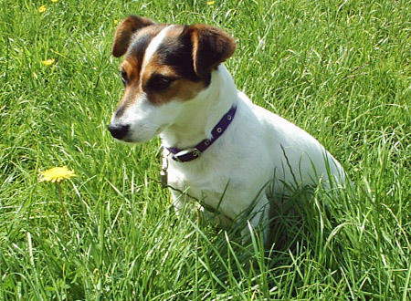 Tippi the Jack Russell Terrier Pictures 418037