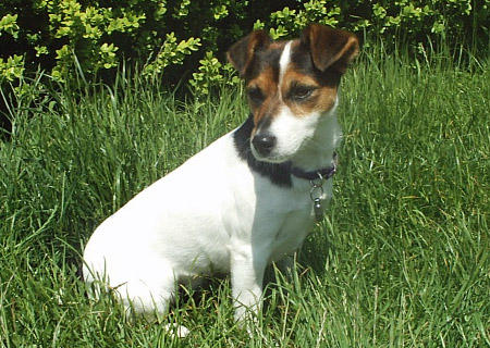 Tippi the Jack Russell Terrier Pictures 418038