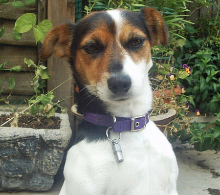 Tippi the Jack Russell Terrier Pictures 418039