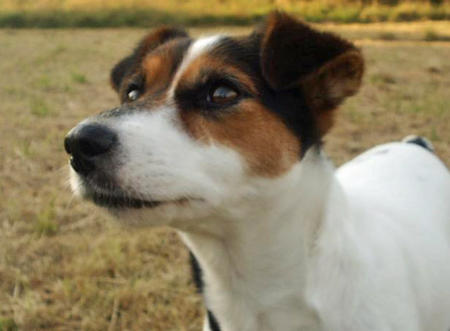 Tippi the Jack Russell Terrier Pictures 418042