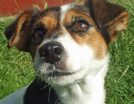 Tippi the Jack Russell Terrier Pictures 418035
