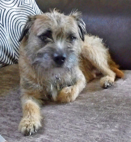Toby the Border Terrier Pictures 1033522