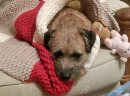 Toby the Border Terrier Pictures 1033523