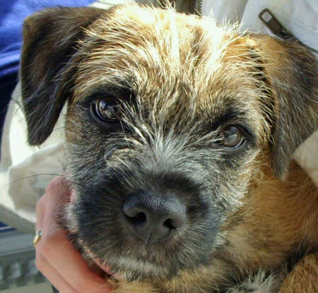 Toby the Border Terrier Pictures 1033525