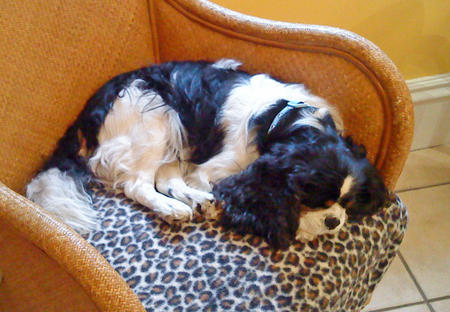 Toby the Cavalier King Charles Spaniel Pictures 807628