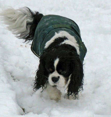 Toby the Cavalier King Charles Spaniel Pictures 807629