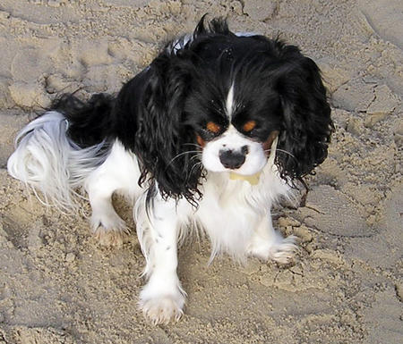 Toby the Cavalier King Charles Spaniel Pictures 807630
