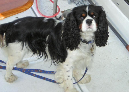 Toby the Cavalier King Charles Spaniel Pictures 807627