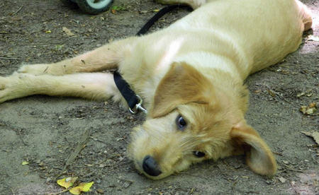 Toby the Golden Retriever Mix Pictures 833935