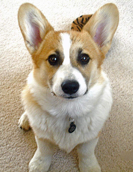 Toby the Pembroke Welsh Corgi Pictures 869841