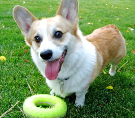 Toby the Pembroke Welsh Corgi Pictures 871399