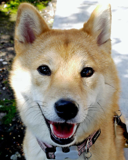 Tomi the Shiba Inu Pictures 840678
