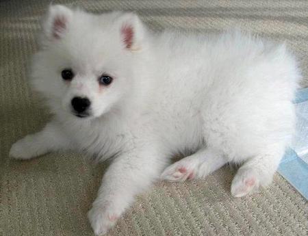 Toro the American Eskimo Dog Pictures 1054883