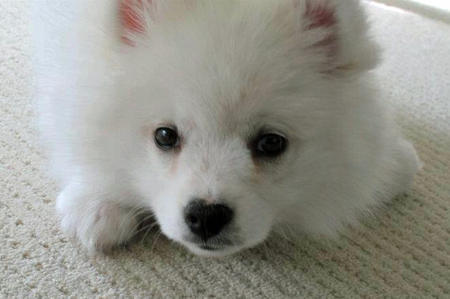 Toro the American Eskimo Dog Pictures 1054884