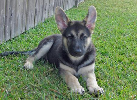 Torren the Shiloh Shepherd Pictures 542528
