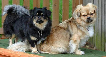 Tory the Tibetan Spaniel Pictures 737320