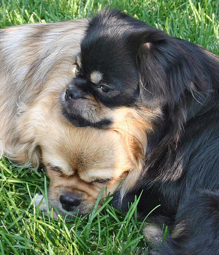 Tory the Tibetan Spaniel Pictures 737321