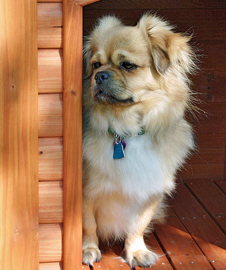 Tory the Tibetan Spaniel Pictures 737325