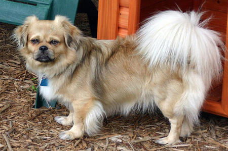 Tory the Tibetan Spaniel Pictures 737326